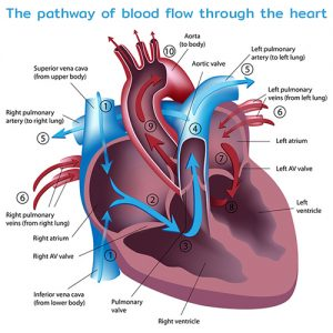 The pathway of blood flow through the heart
